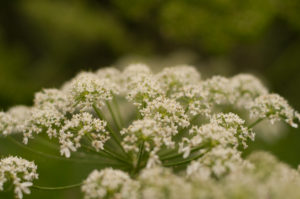 cow parsnip treatment alaskas poisonous plants