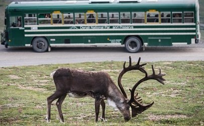 denali-national-park-bus-tour